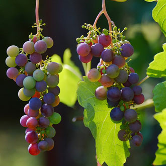 Grape growing