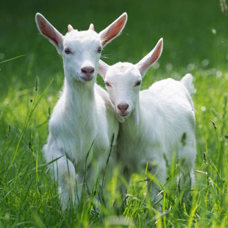 Two white goats