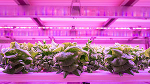 room using vertical farming with pink lights