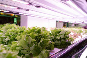 crops grown in vertical farming