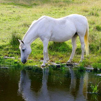White horses drinking water by a pond