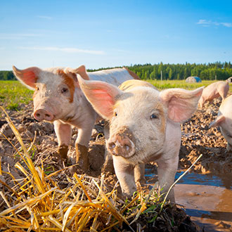 Two pigs on a farm - new animal and plant health safety rules coming into force