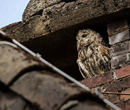 An owl nesting in a building - farm diversification advice