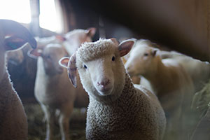 A sheep in a barn which could be part of AgriWebb's new sheep breeding programme